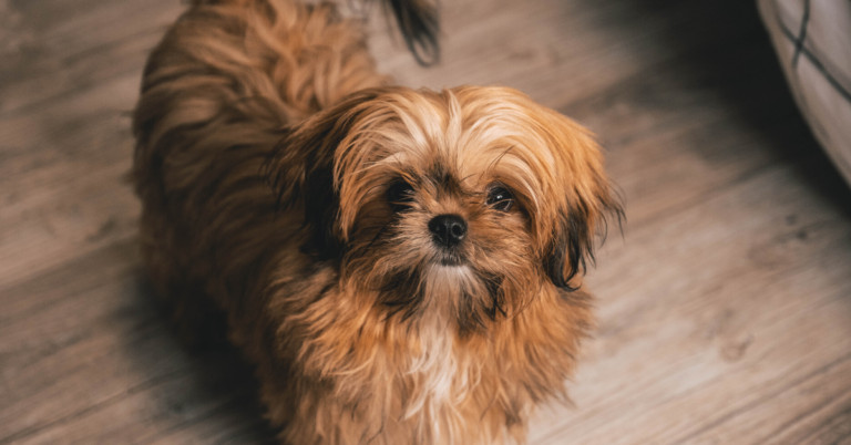 Facts you need to know before getting a shih tzu puppy shih tzu care guide