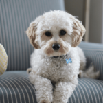 Should I get a dog? How ready are you to be a Shih Tzu parent?