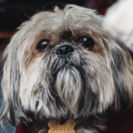 How often does your Shih Tzu need a haircut?