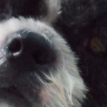 Help! My Shih Tzu has a yeast infection