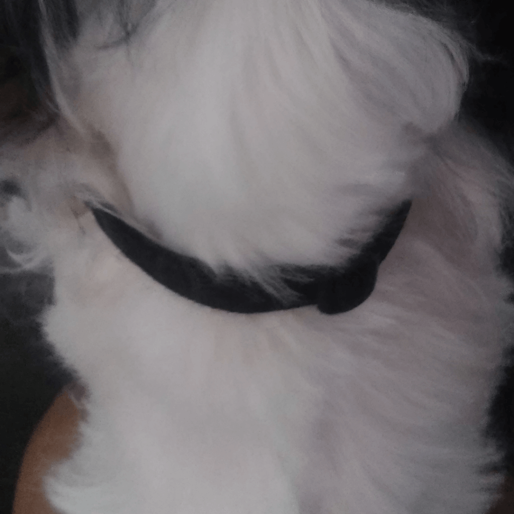 Should I leave the collar on my Shih Tzu all day? www.shihtzucareguide.com