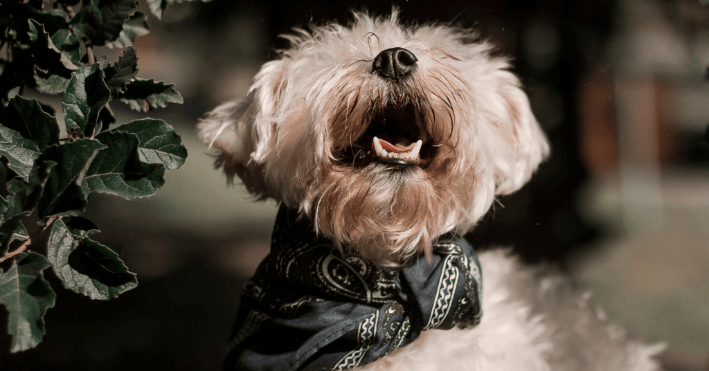 Should-I-leave-the-collar-on-my-Shih-Tzu-all-day-www.shihtzucareguide.com