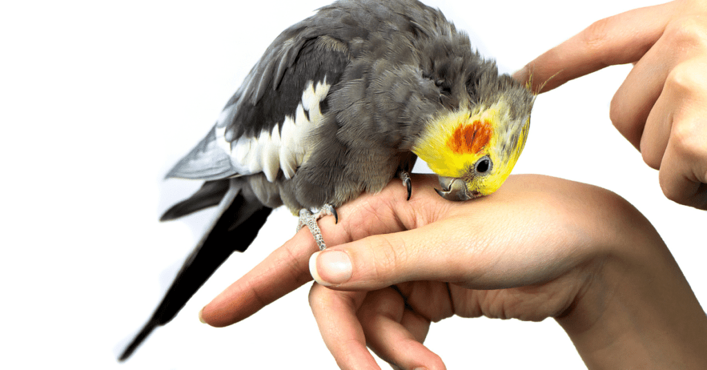 Do-cockatiels-get-along-with-dogs-www.shihtzucareguide.com