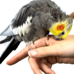 Do cockatiels get along with dogs? Truth talk