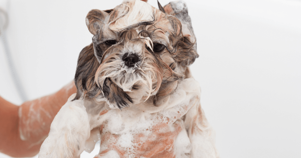 Why-does-my-Shih-Tzu-smell-even-after-a-bath-www.shihtzucareguide.com